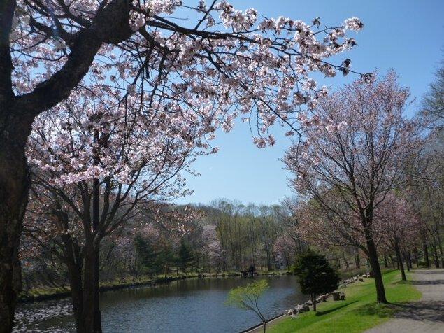 安平町鹿公園の桜