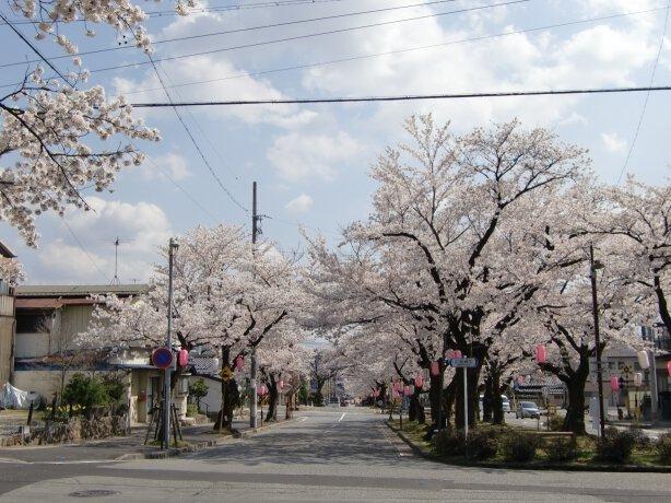 飯田市大宮通り桜並木の桜