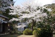 【桜・見ごろ】黒沢東光庵の塩釜桜