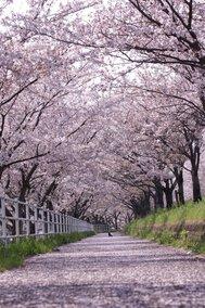 平田公園と大榑川桜並木