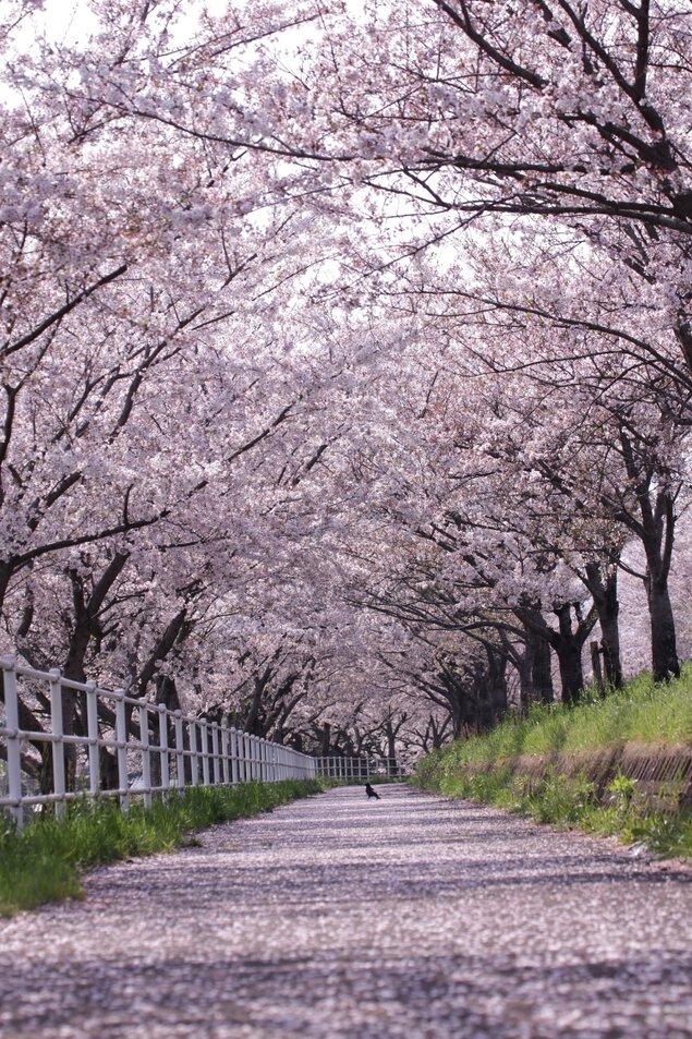 平田公園と大榑川の桜並木