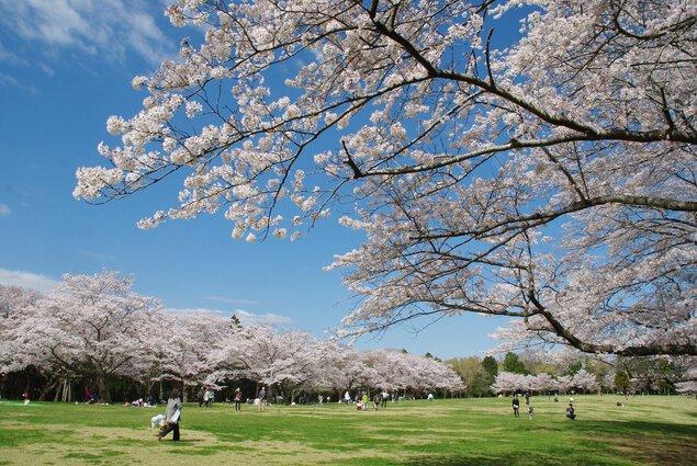 泉自然公園の桜