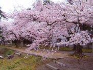 弥彦公園(遅咲き)