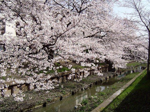 元住吉渋川沿い・中原平和公園の桜
