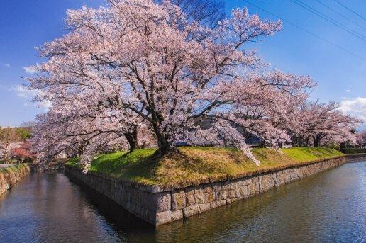 龍岡城五稜郭の桜