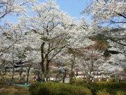 【桜・見ごろ】大寧寺