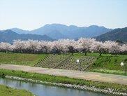 【桜・見ごろ】観月河川公園