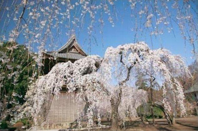【桜・見ごろ】慈眼寺 しだれ桜