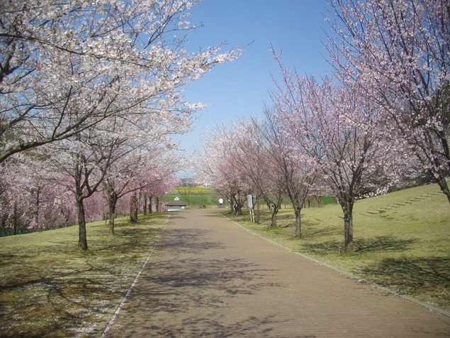 高尾さくら公園の桜