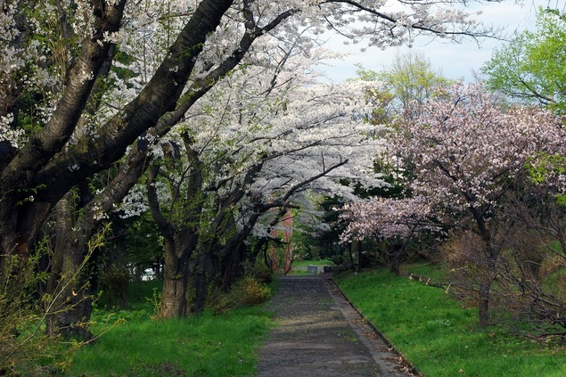 小樽公園の桜