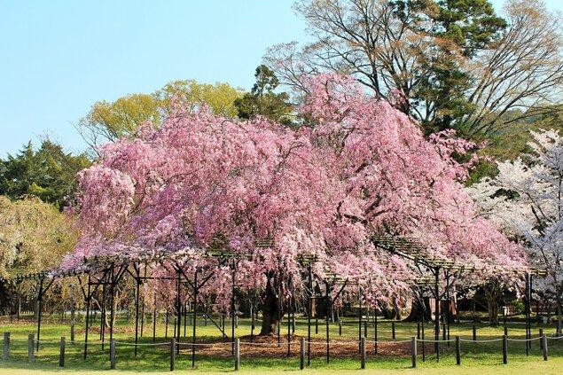 賀茂別雷神社(上賀茂神社)の桜
