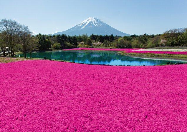 富士本栖湖リゾートの桜