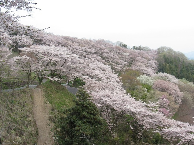 桜山公園の桜