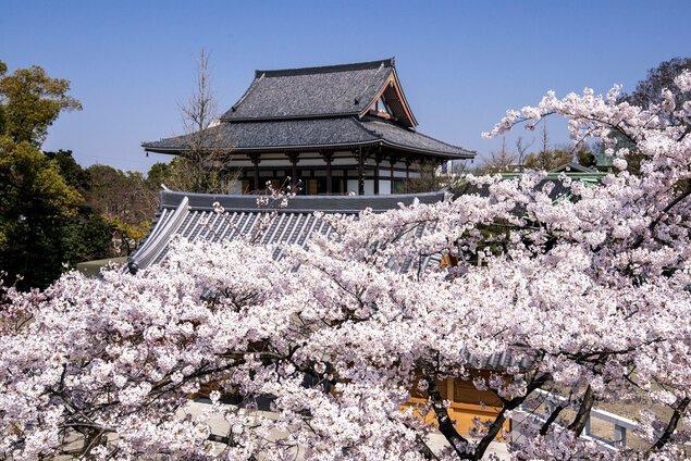 西新井大師の桜