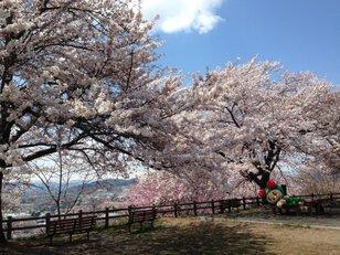 【桜・見頃】寒河江公園