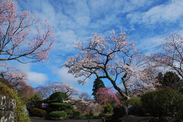 箱根強羅公園の桜
