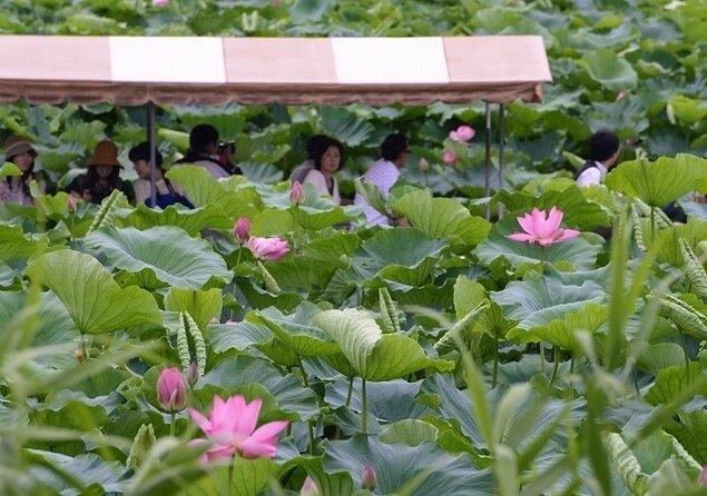 夏の城沼花ハスまつり