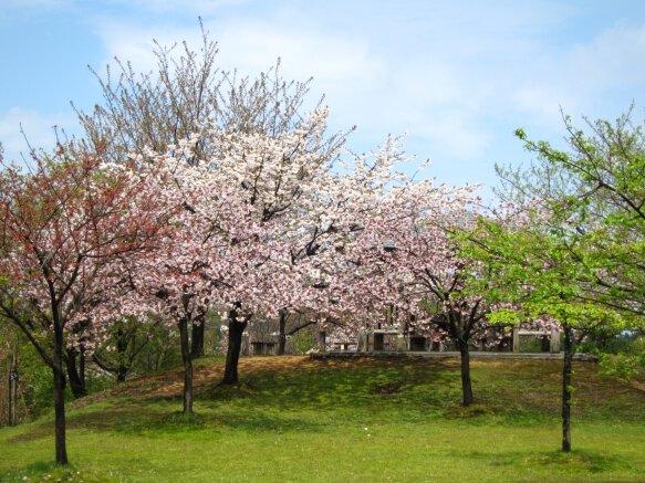 【桜・見頃】桜公園