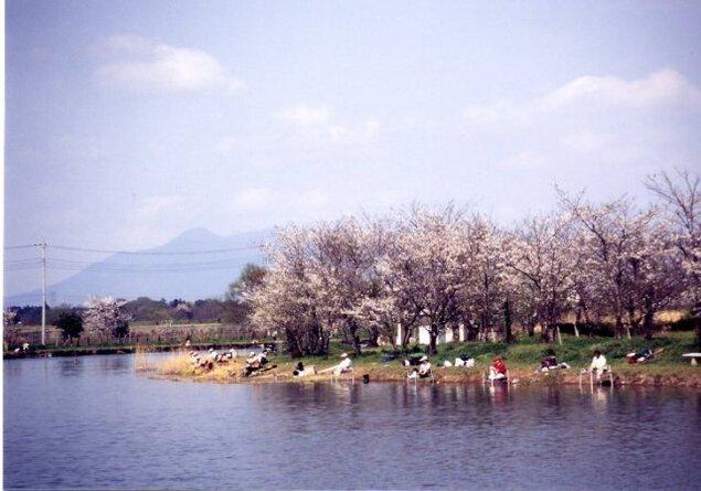 【桜・見頃】吉野公園