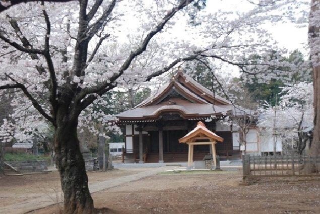 【桜・見頃】弘経寺