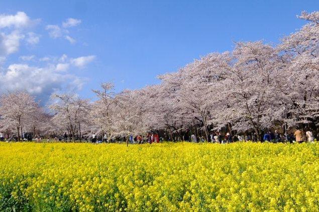 赤城南面千本桜の桜