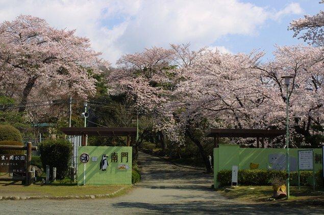 桐生が岡動物園の桜