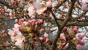 広島市森林公園 まんかい桜みくじ