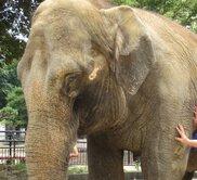 姫路市立動物園 ゾウにひなまつりのプレゼント!