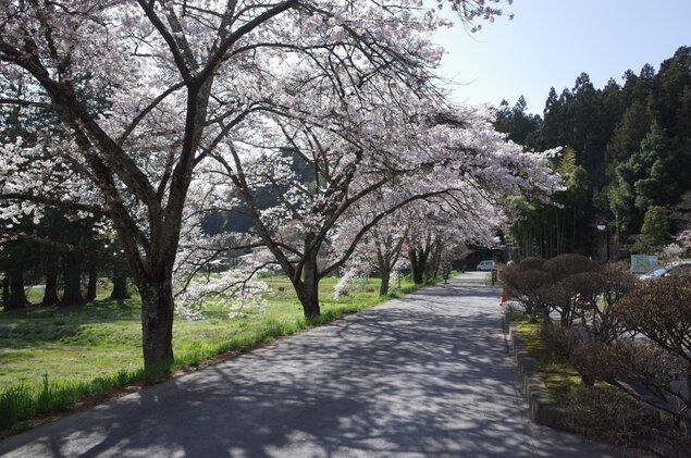 中尊寺の桜