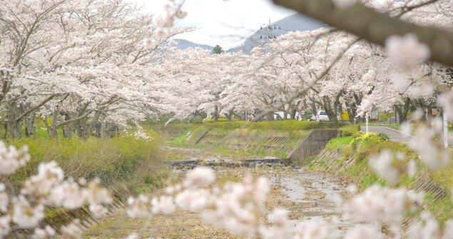 笹原川千本桜の桜