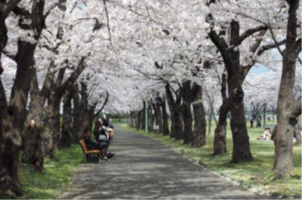 開成山公園・開成山大神宮の桜