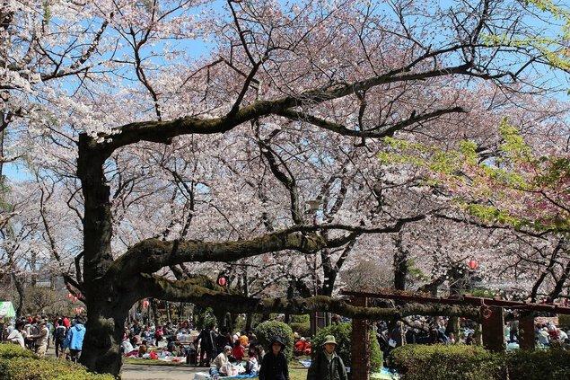 里見公園の桜