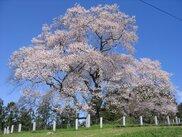 【桜・見頃】戸津辺の桜