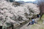 庄川峡桜まつり