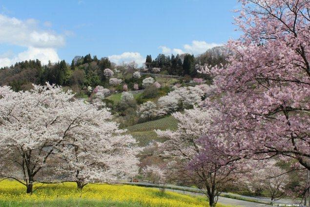 東山夢の郷公園(夢農場)の桜