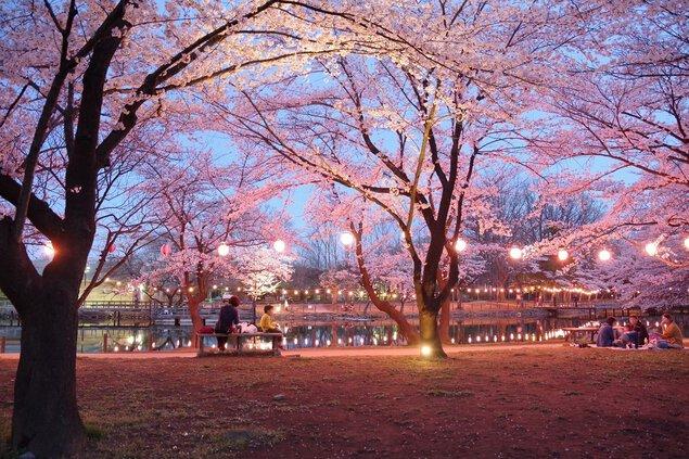 鶴ヶ島市運動公園の桜