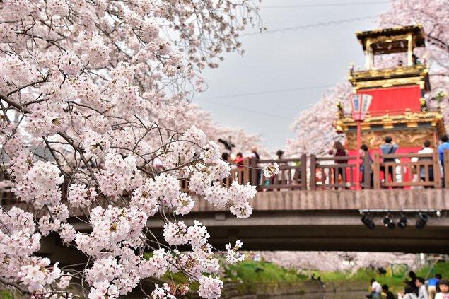 岩倉五条川の桜