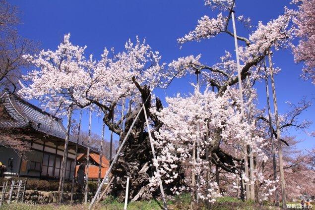 山高神代桜の桜