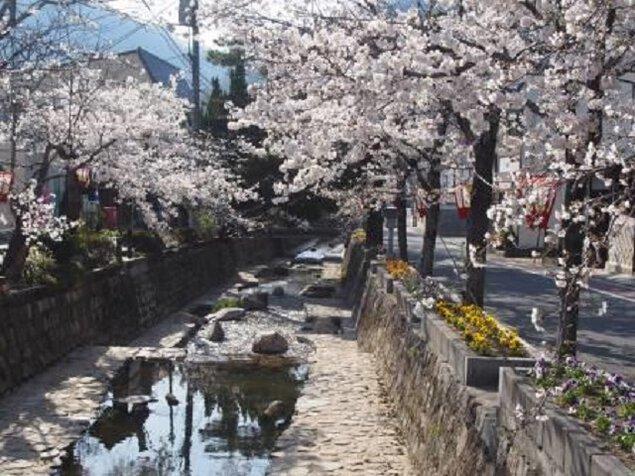 紺屋川美観地区の桜