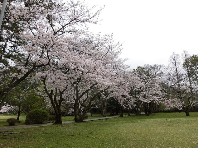 出雲大社神苑の桜