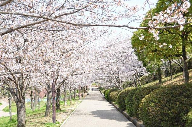 黒鳥山公園の桜