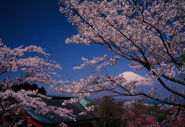 富士仏舎利塔平和公園の桜