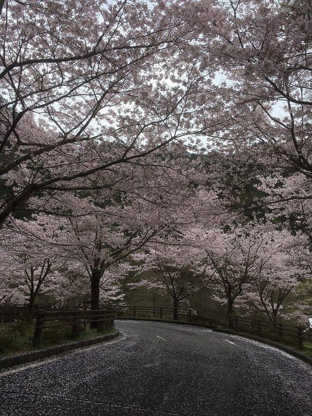 大原湖(佐波川ダム)の桜