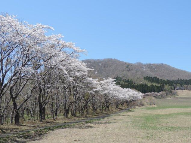 薬莱山の桜