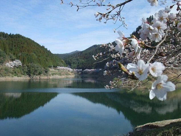 日向神ダムの「千本桜」の桜