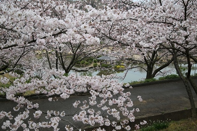 種松山公園西園地の桜