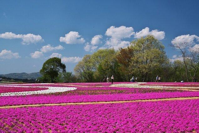 Flower village 花夢の里の芝桜