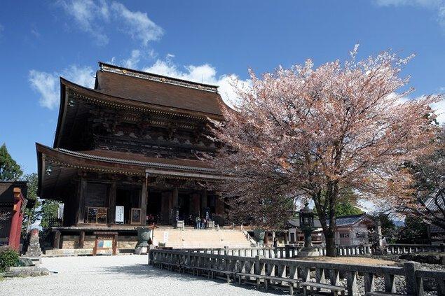 【桜・見頃】金峯山寺蔵王堂