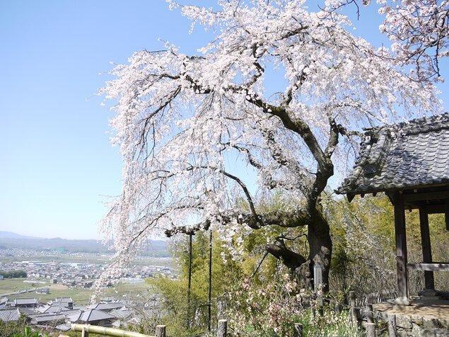 地蔵禅院の桜