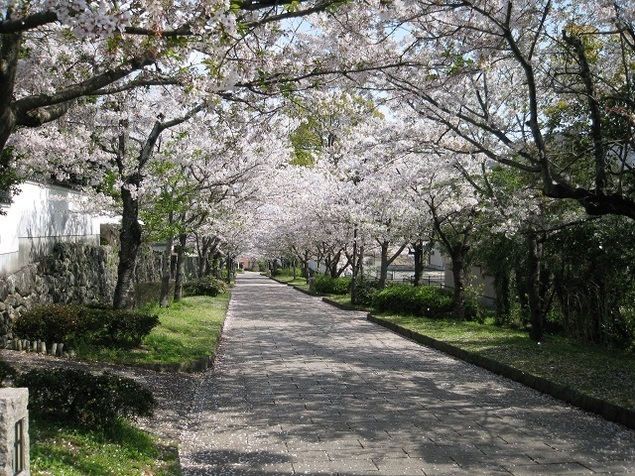旭ヶ岡公園の桜